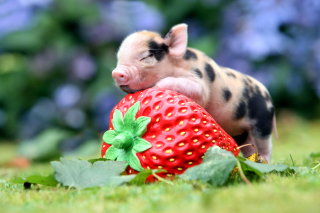 Pig and Strawberry - Obrázkek zdarma pro Widescreen Desktop PC 1440x900