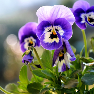 Pansy, Garden Flowers - Obrázkek zdarma pro iPad mini 2