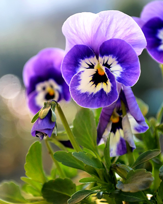 Pansy, Garden Flowers - Obrázkek zdarma pro Nokia 206 Asha