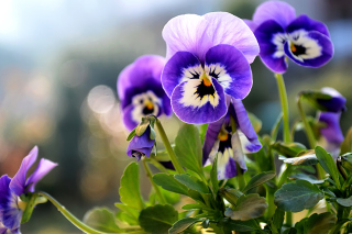 Pansy, Garden Flowers - Obrázkek zdarma pro 176x144