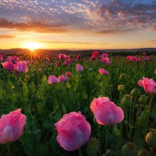 Poppies in Thuringia, Germany - Obrázkek zdarma pro iPad Air