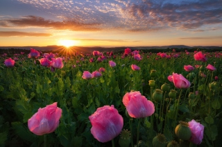 Kostenloses Poppies in Thuringia, Germany Wallpaper für Android, iPhone und iPad