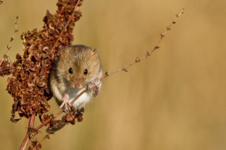 Harvest Mouse Picture for Android, iPhone and iPad