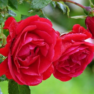 Red rosebush - Obrázkek zdarma pro iPad