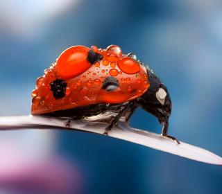Dew Drops On Ladybug - Obrázkek zdarma pro iPad