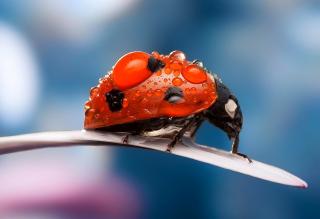 Dew Drops On Ladybug - Obrázkek zdarma pro Android 320x480