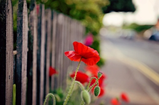 Free Poppy In Front Of Fence Picture for Android, iPhone and iPad