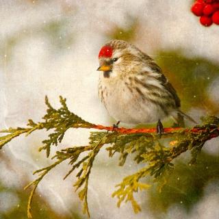 Redpoll bird - Obrázkek zdarma pro iPad 3