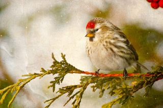 Redpoll bird - Obrázkek zdarma pro 720x320