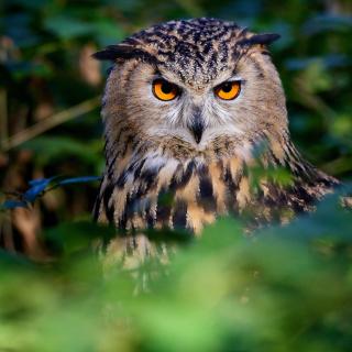 Owl - Obrázkek zdarma pro iPad
