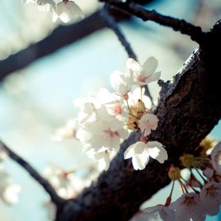 Bloom Tree - Obrázkek zdarma pro iPad Air