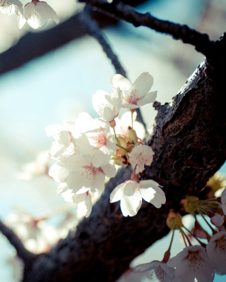 Bloom Tree - Obrázkek zdarma pro Nokia Asha 202