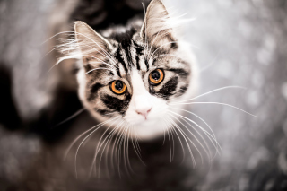 Free Cat With Orange Eyes Picture for Android, iPhone and iPad