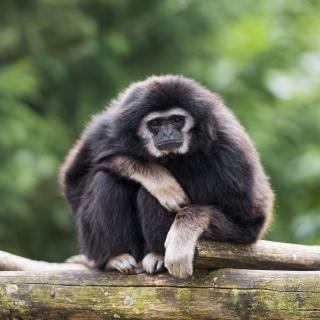 Gibbon Primate - Obrázkek zdarma pro 208x208