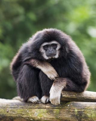 Gibbon Primate - Obrázkek zdarma pro 750x1334