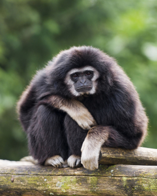 Gibbon Primate - Obrázkek zdarma pro Nokia C-Series