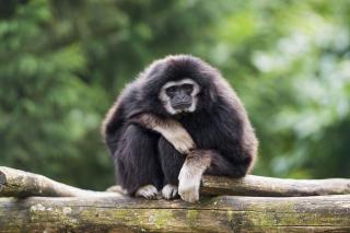 Gibbon Primate - Obrázkek zdarma pro Nokia XL