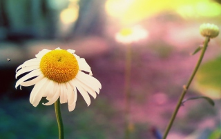 Single Daisy Wallpaper for Android, iPhone and iPad