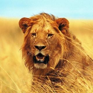 Lion 4K Ultra HD - Obrázkek zdarma pro iPad 2