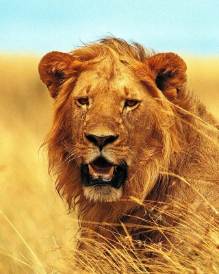 Lion 4K Ultra HD - Obrázkek zdarma pro 352x416