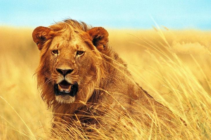 Lion 4K Ultra HD wallpaper