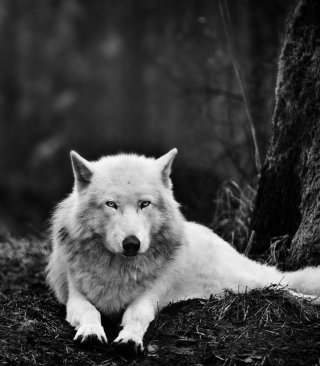 White Wolf - Obrázkek zdarma pro 480x640