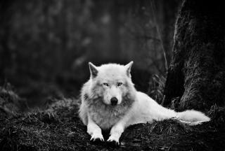 White Wolf - Obrázkek zdarma pro Samsung Galaxy S4