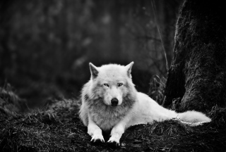 White Wolf - Obrázkek zdarma pro Desktop Netbook 1366x768 HD