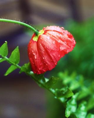Red Poppy with Ddew - Obrázkek zdarma pro Nokia X2