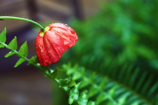 Red Poppy with Ddew - Obrázkek zdarma pro Sony Xperia M