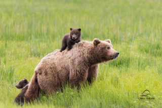 Brown Bear Family Background for Android, iPhone and iPad