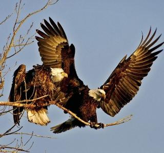 Bird Of Prey With Hooked Beak - Obrázkek zdarma pro 128x128