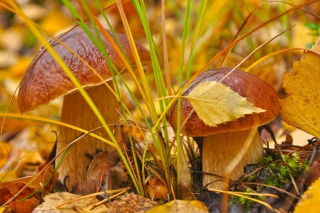 Autumn Mushrooms with Yellow Leaves - Obrázkek zdarma pro Desktop Netbook 1366x768 HD