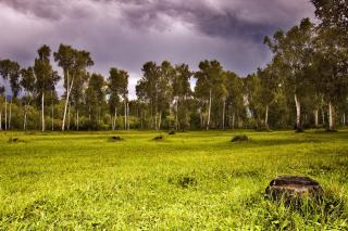 Birch Forest - Obrázkek zdarma pro HTC EVO 4G