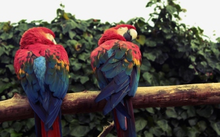 Macaw Parrot Wallpaper for Android, iPhone and iPad