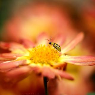 Ladybug and flower - Obrázkek zdarma pro iPad 3