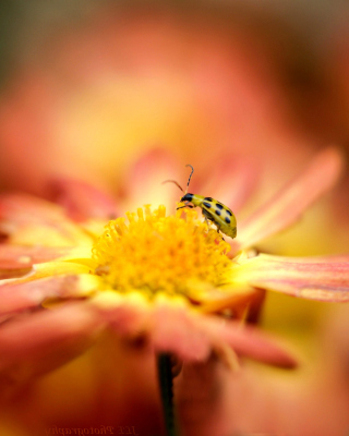 Ladybug and flower - Obrázkek zdarma pro Nokia C1-02