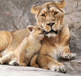 Lion Family - Obrázkek zdarma pro 1024x1024