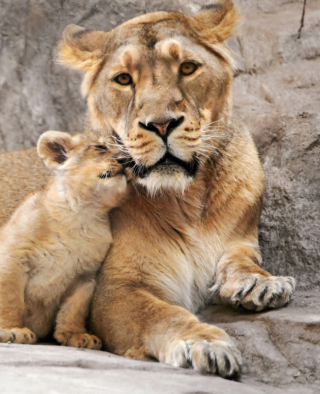 Lion Family - Obrázkek zdarma pro Nokia X2