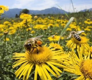 Bee Field - Obrázkek zdarma pro 1024x1024