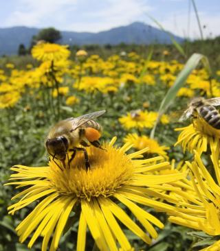 Bee Field - Obrázkek zdarma pro 320x480