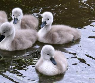 Baby Swans - Obrázkek zdarma pro 320x320