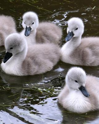Baby Swans - Obrázkek zdarma pro 132x176