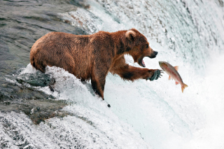 Big Brown Bear Catching Fish Background for Android, iPhone and iPad