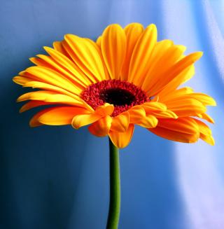 Orange Gerbera Daisy - Obrázkek zdarma pro 1024x1024