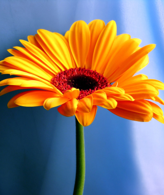 Orange Gerbera Daisy - Obrázkek zdarma pro Nokia C5-03