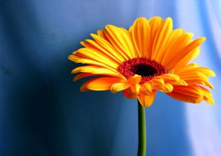 Orange Gerbera Daisy - Obrázkek zdarma pro Nokia Asha 200