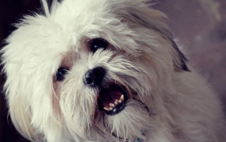 White Fluffy Doggy Picture for Android, iPhone and iPad