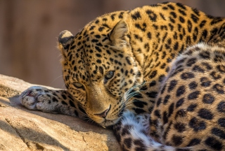 Beautiful Leopard Background for Android, iPhone and iPad