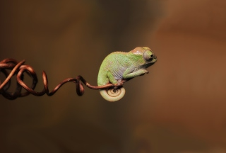 Chameleon On Stick Background for Android, iPhone and iPad